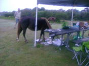 Sharing our breakfast with the Assateague ponies